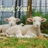 Buddy Lambs Thank You Cards preview image