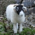 Swaledale Ewe Felted product image