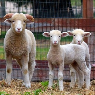 Sheep that we have for sale