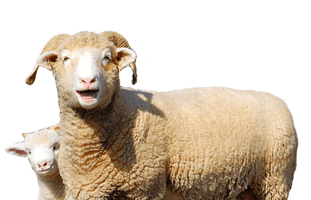 Ewephoric Sheep For Sale in 2019 - Horned Dorset Sheep and