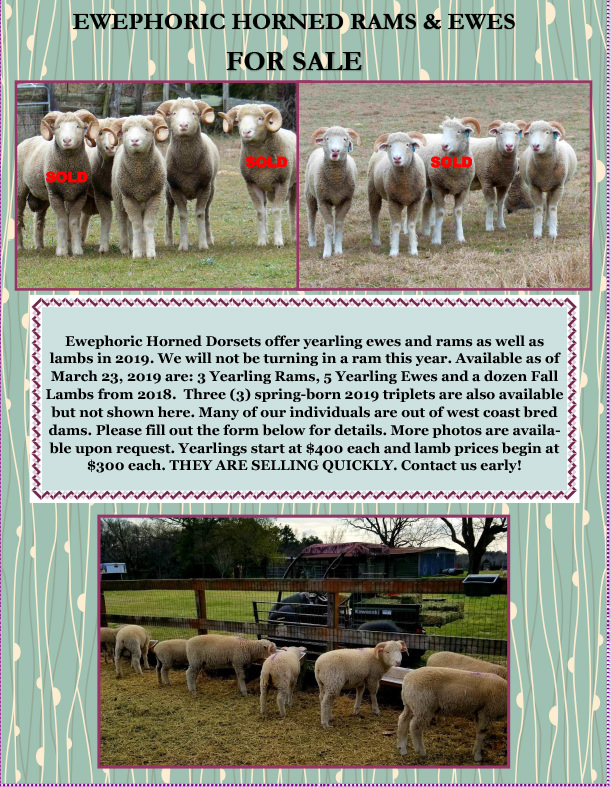 Corriedale Sheep For Sale Lambs For Sale In Minnesota cfm