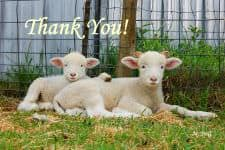 Buddy Lambs Thank You Cards product image